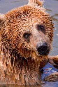 Wet Bear Jigsaw Puzzle