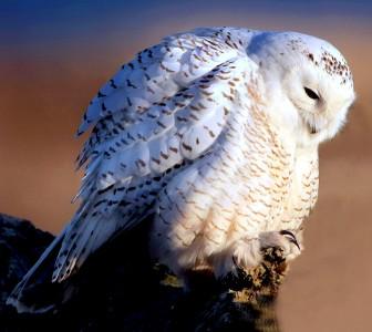 White Owl Jigsaw Puzzle