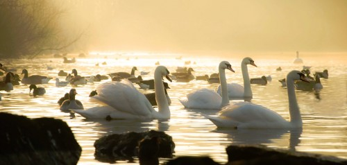 White Swans Jigsaw Puzzle