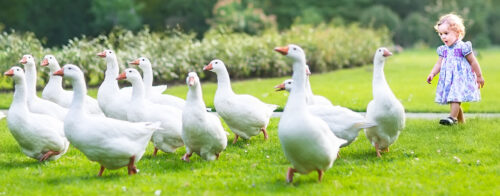 Wild Goose Chase Jigsaw Puzzle