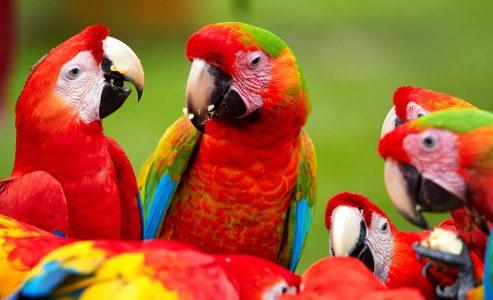 Wild Parrots Jigsaw Puzzle