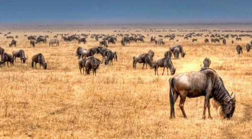 Wildebeest Herd Jigsaw Puzzle