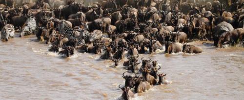 Wildebeest Migration Jigsaw Puzzle