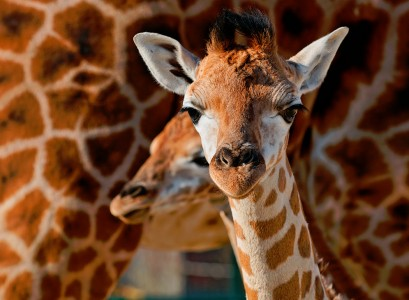 Young Giraffes Jigsaw Puzzle