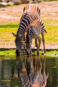 Zebra and Foal Jigsaw Puzzle