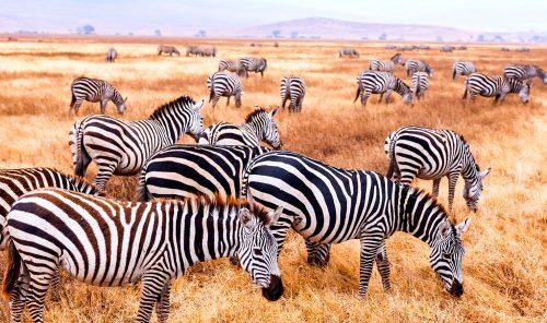 Zebra Herd Jigsaw Puzzle
